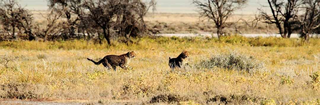 Two cheetahs running, Namibia