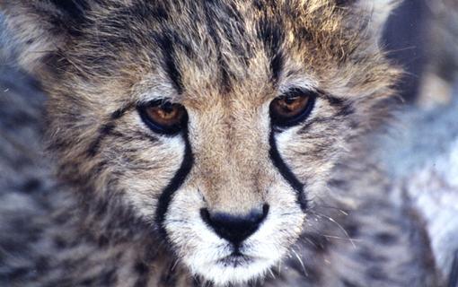 Cheetah cub, Namibia