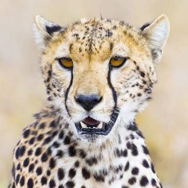 cheetah-head
