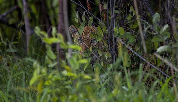 leopard-hiding