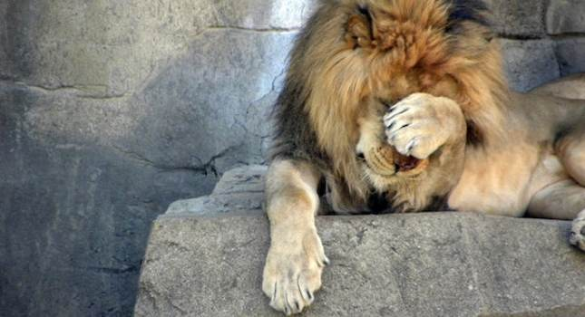 Lion facepalm