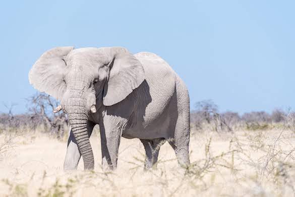 white-elephant-namibia