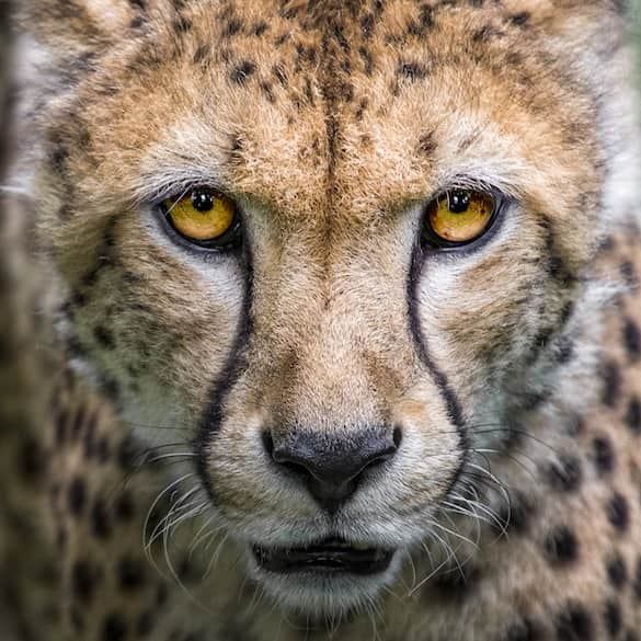 Cheetah looking forward