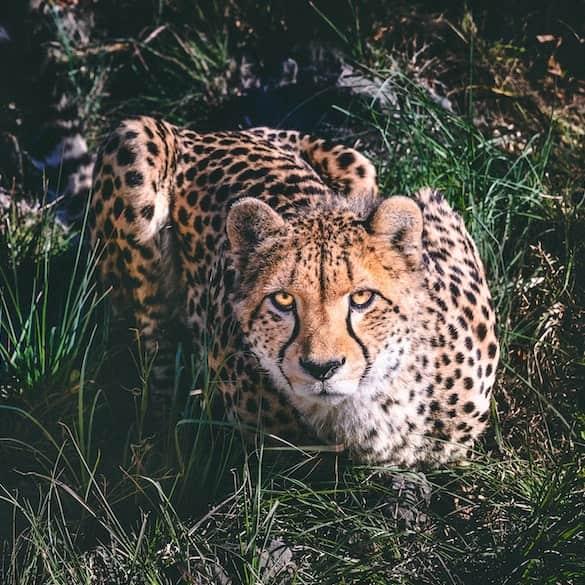 Cheetah crouched
